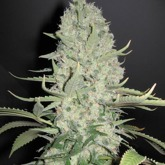 White Widow X Big Bud Feminized