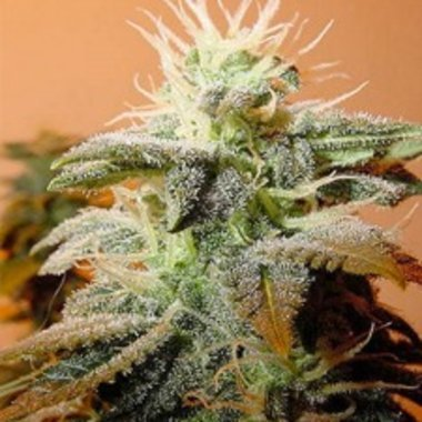 Female Seeds Indoor Mix Feminized