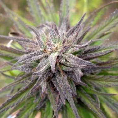 Female Seeds Purple Power Feminized