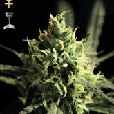 GreenHouse Seeds Lemon Skunk Feminized