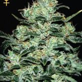GreenHouse Seeds Moby Dick Feminized