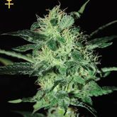 GreenHouse Seeds Super Critical Feminized