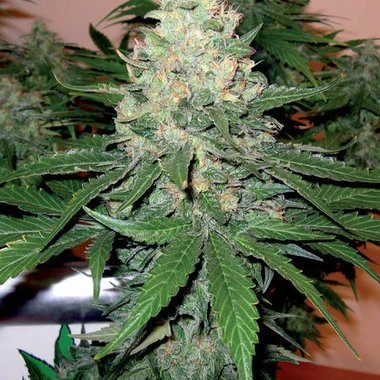 DNA Genetics Rocklock Feminized