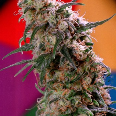 Dutch Passion Super Haze Feminized