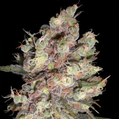 Delicious Seeds Cotton Candy Feminized