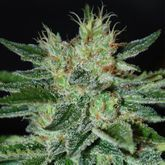 Delicious Seeds Sugar Black Rose Feminized