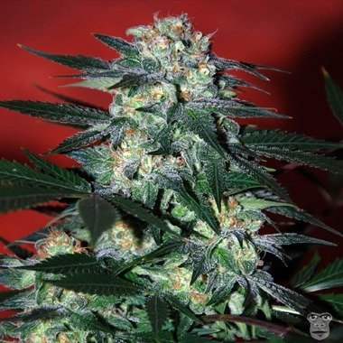 World of Seeds Delirium Feminized