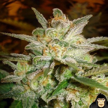 World of Seeds Star 47 Feminized