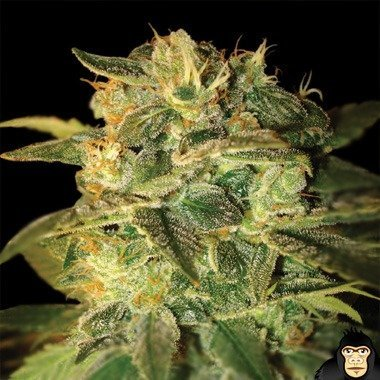 World of Seeds Sugar Mango Ryder Autoflowering Feminized
