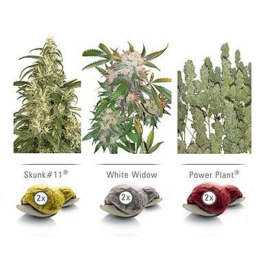 Dutch Passion Colour Mix 3 Indoor Feminized Cannabis Seeds