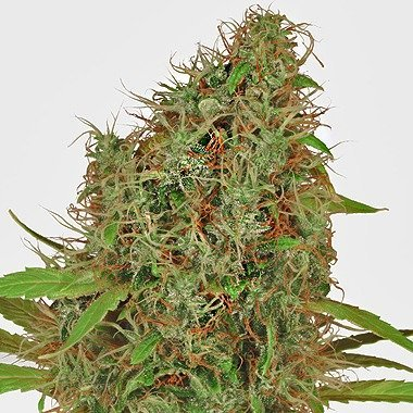 Dutch Passion Dutch Haze Feminized