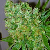 Big Buddha Blue Cheese feminized