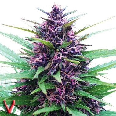 Dutch Passion Twilight Feminized